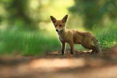 Vulpes de Vulpes Le Fox est répandu dans l'ensemble de l'Europe Photographie stock libre de droits