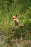 Vulpes de Vulpes Le Fox est répandu dans l'ensemble de l'Europe Images libres de droits