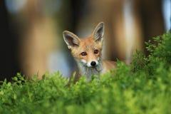 Vulpes de Vulpes Le Fox est répandu dans l'ensemble de l'Europe Photo libre de droits