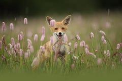 Vulpes de Vulpes Le Fox est répandu dans l'ensemble de l'Europe Image libre de droits