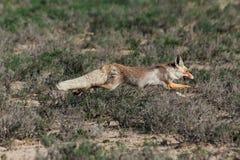 Vulpes de Vulpes de renard rouge fonctionnant loin Image libre de droits