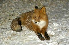 vulpes de rouge de renard Images libres de droits
