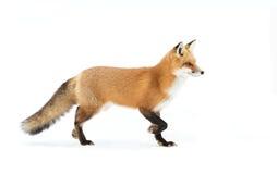 Vulpes de Vulpes de renard rouge en parc d'algonquin photographie stock