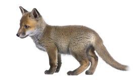 Vulpes del Vulpes del cachorro del zorro rojo (6 semanas de viejo) - Fotos de archivo