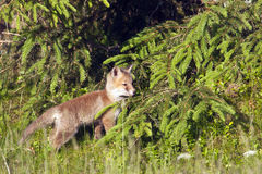 Vulpes del Vulpes, zorro rojo del bebé que se coloca en la hierba profunda, los Vosgos, Francia Foto de archivo