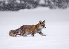 Vulpes di vulpes della volpe rossa Fotografia Stock