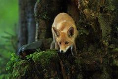 Vulpes di vulpes Il Fox è diffuso in tutto Europa fotografie stock