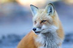 Vulpes di vulpes della volpe rossa nel parco del Algonquin immagini stock libere da diritti
