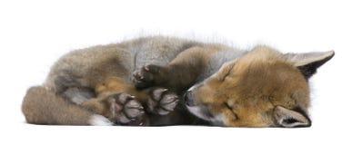 Vulpes do Vulpes do filhote da raposa vermelha (6 semanas velho) - Fotos de Stock Royalty Free