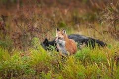 Vulpes do Vulpes do Fox vermelho com cruzamento do Fox de prata atrás Imagem de Stock