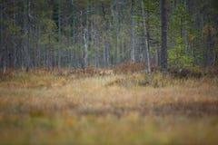 Vulpes vulpes Fox jest rozlewny przez cały Europa Zdjęcia Royalty Free