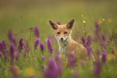 Vulpes vulpes. Fox is widespread throughout Europe. The wild nature of Europe. Autumn colors in the photo. Beautiful photo. Fox and orchid. Nature Czech Royalty Free Stock Photos