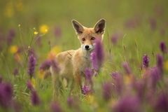 Vulpes vulpes. Fox is widespread throughout Europe. The wild nature of Europe. Autumn colors in the photo. Beautiful photo. Fox and orchid. Nature Czech Royalty Free Stock Photography