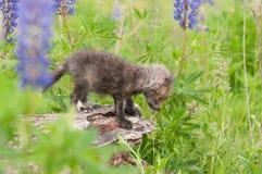 Vulpes Kit Looks Down Off Log do Vulpes do Fox vermelho foto de stock
