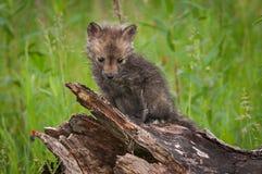 Vulpes Kit Sits di vulpes di Fox rosso Fotografie Stock Libere da Diritti