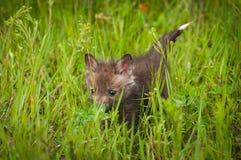 Vulpes Kit Walks Through di vulpes di Fox rosso l'erba Fotografia Stock