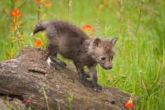 Vulpes Kit Walks Down Log de Vulpes de Fox rouge photos stock