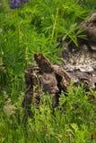 Vulpes Kit Yawns Inside Log de Vulpes de Fox deux rouge photos libres de droits