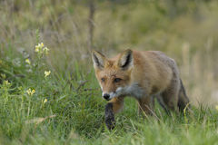 Vulpes stock photography