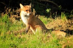 Dog Fox In Sunshine. Vulpes vulpes  or Red Fox - the largest of the foxes and common throughout the Northern hemisphere. Widely regarded as a pest and often Stock Image