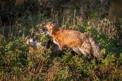 Vulpes Rolls di vulpes di Fox rosso altro Immagini Stock Libere da Diritti