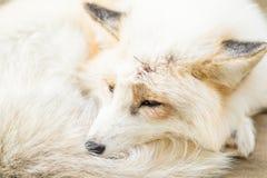 Vulpes sonnolenti di vulpes Fotografia Stock