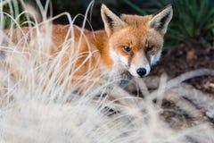 Vulpes urbain de Vulpes de renard en parc en journée, derrière le buisson image stock