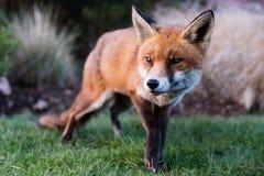 Vulpes urbani di vulpes della volpe in parco nella luce del giorno Immagine Stock