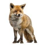 Κόκκινη αλεπού, Vulpes vulpes, στάση, που απομονώνεται Στοκ Φωτογραφία