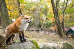 Vulpes vulpes. Beautiful sightseeing scenery landscape stock images