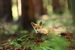 Vulpes vulpes. Fox is widespread throughout Europe.. The wild nature of Europe. Autumn colors in the photo. Beautiful photo. Fox and orchid. Nature Czech Stock Photo