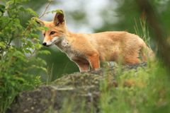 Vulpes vulpes. Fox is widespread throughout Europe. The wild nature of Europe. Autumn colors in the photo. Beautiful photo. Fox and orchid. Nature Czech Stock Photography