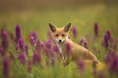 Vulpes vulpes. Fox is widespread throughout Europe. The wild nature of Europe. Autumn colors in the photo. Beautiful photo. Fox and orchid. Nature Czech Stock Image