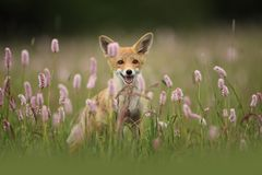Vulpes vulpes. Fox is widespread throughout Europe. The wild nature of Europe. Autumn colors in the photo. Beautiful photo. Fox and orchid. Nature Czech Royalty Free Stock Image