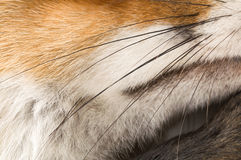 Vulpes vulpes in front of a white background stock photo
