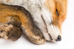 Vulpes vulpes in front of a white background Royalty Free Stock Images