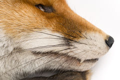 Vulpes vulpes in front of a white background Royalty Free Stock Image