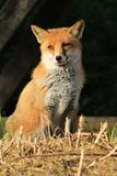 Red Fox Vixen. Vulpes vulpes - more commonly known as the Red Fox. This is a mature female Royalty Free Stock Photography