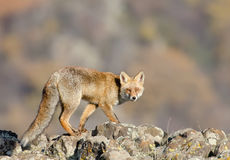 Vulpes vulpes Stock Photography