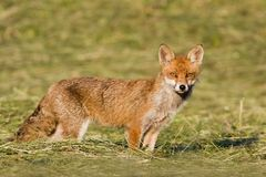 Vulpes vulpes, red fox standing on the grass, Jura, France Stock Image