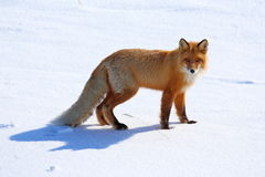 Vulpes vulpes. Red Fox on a winter`s day in Yamal Royalty Free Stock Photos