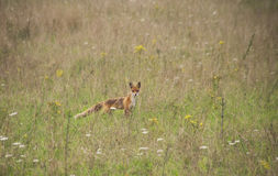 Vulpes Vulpes youngster stock image
