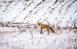 Vulpes. Wild fox in winter field royalty free stock photo