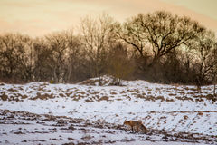 Vulpes. Wild fox in winter field stock photo