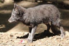 VulpesLagopus för arktisk räv Royaltyfria Bilder