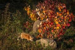 Vulpesvulpes för två röda rävar i Autumn Colors Royaltyfri Foto