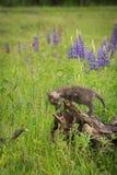 Vulpesvulpes Kit Looks Down för röd räv på svansen för Sibling` s Royaltyfri Foto
