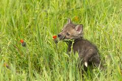 Vulpesvulpes Kit Looks för röd räv på vildblomman arkivbild