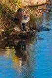 Vulpesvulpesen för den röda räven reflekterad från vaggar Arkivfoton