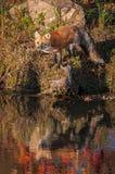 Vulpesvulpesen för den röda räven ser ut från Shoreline Royaltyfri Bild